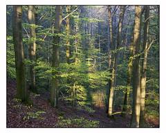 April 29th - 4x5 (magnus.joensson) Tags: sweden skåne spring forest green dalby april large format 4x5 intrepid camera voigtlander heliar 21cm f45 kodak porta 400nc exp laboratoriet epson v800 scan