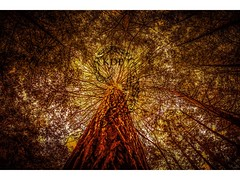 The Tree of Life (Kimo Diaz Photography) Tags: newzealand redwood tree gold bright yellow dramatic nature art hdr digital forest travel adventure landscape hiking woods goldenhour fresh light kimodiaz kimo diaz photography