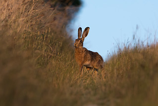 Hare today......150718_8-2.jpg