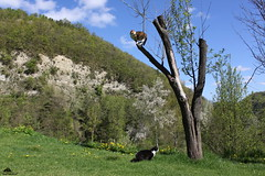 It's Nice To Be On The Top Of The World :-) (Xena*best friend*) Tags: monicabellucci mb zivadavid onthetopoftheworld bluesky nature zd cats whiskers feline katzen gatto gato chats furry fur pussycat feral tiger pet kittens kitty animals piedmontitaly piemonte canoneos500d italy wood woods wildanimals wild paws calico markings ©allrightsreserved pets purr eosrebelt1i efs1855mmf3556is flickr outdoor animal photo perch plumtree spring