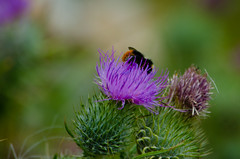 Gathering pollen from purple flower (Dave_A_2007) Tags: bee bumblebee flower insect nature plant thistle wildlife bridgnorth shropshire england