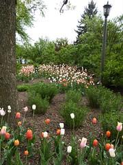 Lombard, IL, Lilacia Park, Tulip Bed (Mary Warren 13.6+ Million Views) Tags: lombardil lilaciapark spring nature flora plants bloom blossom flower tulip garden park tree bush green leaves foliage lamp