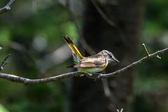 American Redstart , Cochrane Pond Road (frank.king2014) Tags: americanredstart stjohns newfoundlandandlabrador canada ca