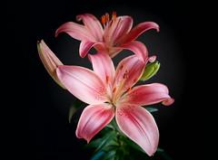 Lilium (mcg0011) Tags: flores lilium manuelcarrasco colors flower lirio azucena