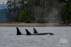 Orcas (fascinationwildlife) Tags: animal mammal wild wildlife nature natur orca killer killerwal whale resident pod j schwertwal kanada canada bc inside passage sea salish ocean meer coast