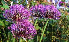 May in the Garden (Mark Wordy) Tags: mygarden springflowers may alliums universe purple flowers