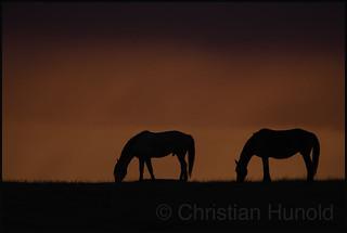 mustangs at dawn
