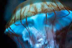 The Sky Was Watercolor Thin (Thomas Hawk) Tags: america chicago cnidaria cookcounty illinois johngsheddaquarium museumcampuschicago sheddaquarium usa unitedstates unitedstatesofamerica aquarium jellies jellyfish fav10