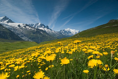 Meadow of Yellow Flowers and Mountains (OneEighteen) Tags: flowers france mountains alps nature yellow trekking walking landscape europe hiking meadow montblanc frenchalps aiguilleverte 1500v60f 1000v40f 3000v120f tourmtblanc francelandscapes lesdru