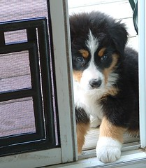 Porte patio (Leeloo_) Tags: dog chien puppy adorable jazz bernesemountaindog chiot bernois bouvier berner bernese