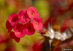 Crown of Thorns (Euphorbia splendens)