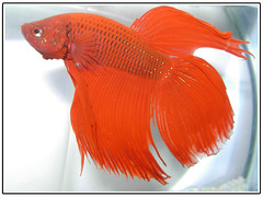 Betta fish (aZ-Saudi) Tags: red fish color eye fight fighter arabic saudi arabia betta ksa   arabin arabs