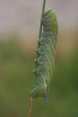 """Eyed Hawkmoth Caterpillar (Smerinthas ocellata) • <a style=""""font-size:0.8em;"""" href=""""http://www.flickr.com/photos/57024565@N00/221838369/"""" target=""""_blank"""">View on Flickr</a>"""