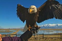 TesugeSP (Steven Ford / snowbasinbumps) Tags: wild sports birds utah interestingness eagle great raptor prey ogden aminals specanimal bonzag topofutah stevenford lifeelevated snowbasinbumps fordesignnet utahtravel westerntravel