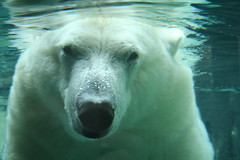 Face to Face (marylea) Tags: toledozoo ohio polarbear explore animal bear water zoo wow huge head bears scomp stevencolbert stephencolbert opinion memory permanent colbert oldglory interestingness close closeup large big swim swimming explored face aug18 2006