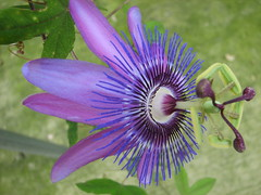 lavender lady passion flower (greenhousematt) Tags: flowers passiflora passionflower