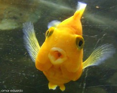 Fly me to the Mooooon... (Omar Eduardo) Tags: moon fish pez macro yellow closeup mexico fun fly kiss funny singing luna amarillo songs beso acuario franksinatra acuarium canciones cantando volar sanluispotos abigfave ciudadvalles lifetravel