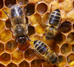 Not long for the drones ... (Max xx) Tags: france macro insect burgundy bee worker pollen honeybee hive abeille larva beekeeping ruche drone alvole taxonomy:binomial=apismellifera