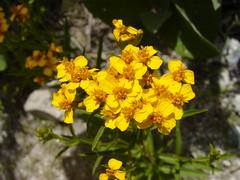Yerbanís / Mexican Mint Marigold (Tagetes lucida)