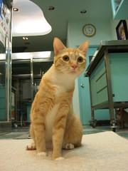 凜凜Lin (jacky elin) Tags: orange cats cat mix tabby lin