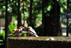 Douching Sparrows (Hamed Saber) Tags: summer hot bird wet water fountain pool rain animal closeup geotagged persian interestingness warm flickr meetup iran persia sparrow saber gathering iranian   hamedan hamed douche flickrmeetup farsi  flickrites  hamadan flickies flickrexplore avecina         geo:lon=48513221 geo:lat=34791814 hamadn