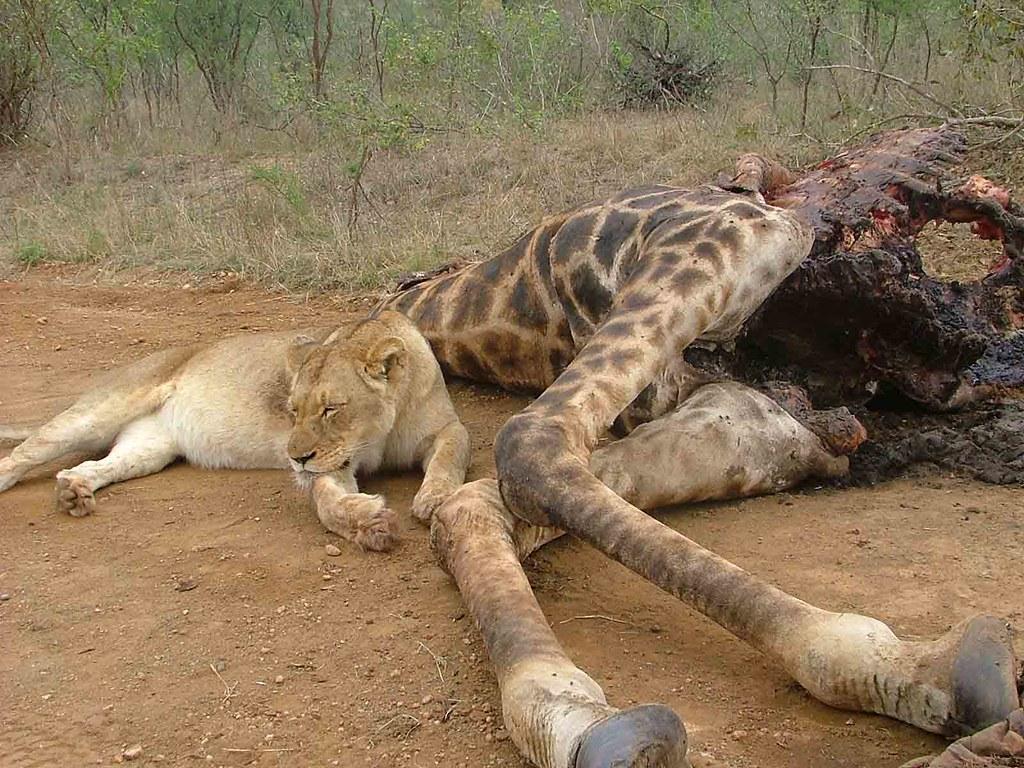 leeuwin naast giraffe (Kruger Park)