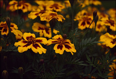 Sunset (IsolateMcqueen*;) Tags: flower mill nature garden coventry warwick