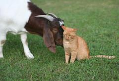 Friends Forever? #1 (Boered) Tags: friends cat milo goat forever boergoat stink revo buckling cc100