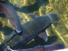 Trout (BrandyN) Tags: fish trout hatchery