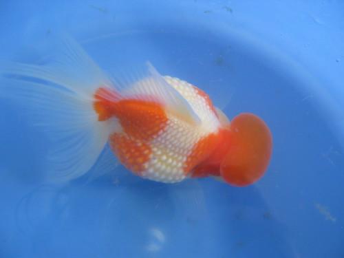 Blue bubble eye goldfish - photo#25