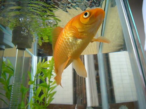 金魚 │ 動物 │ 無料写真素材