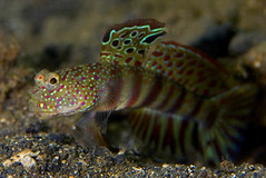 Male (keddu) Tags: new water guinea underwater photos under diving photograph papua ダイビング 水中写真 alotau milnebay