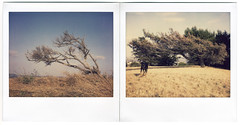Trees (rebeccamissing) Tags: dog tree polaroid diptych lola pointisabel doberman spectra goldengrass