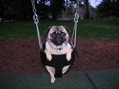 Pug on a Swing! (Dunechaser) Tags: dog pets cute dogs animals pug  pugs    canines pugsly cotcmostfavorited impressedbeauty