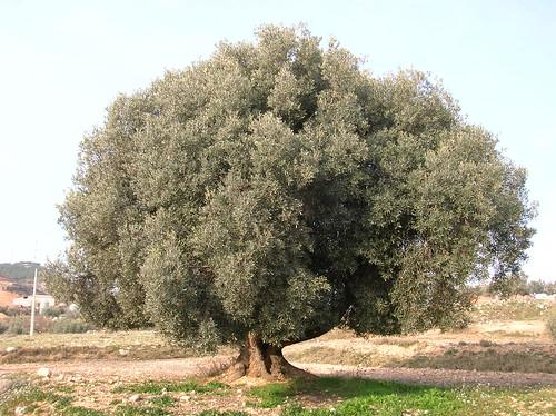 olivo, alcorisa, aceitunas