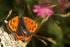 """Small Copper Butterfly (Lycaena phlaeas) • <a style=""""font-size:0.8em;"""" href=""""http://www.flickr.com/photos/57024565@N00/249028195/"""" target=""""_blank"""">View on Flickr</a>"""