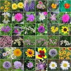Other Daisy Type Flowers Mosaic 001 (Chrisser) Tags: flowers summer ontario canada nature garden fdsflickrtoys gardening fourseasons closeups asteraceae