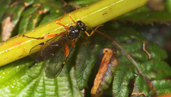 "Ichneumons Wasp (Pimpla hypochondriac(3) • <a style=""font-size:0.8em;"" href=""http://www.flickr.com/photos/57024565@N00/253434754/"" target=""_blank"">View on Flickr</a>"