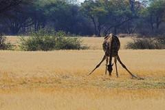 thirsty giraffa in Hwange park - Zimbabwe - by Sbrimbillina