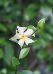 flower nature jasmine