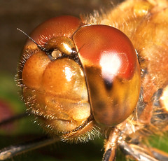 """Common Darter Dragonfly (Sympetrum st(6) • <a style=""""font-size:0.8em;"""" href=""""http://www.flickr.com/photos/57024565@N00/258834001/"""" target=""""_blank"""">View on Flickr</a>"""
