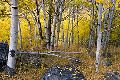 Autumn Windfall (Dale Allyn) Tags: autumn fall nature canon 2470mml sierra 5d aspen quaking