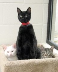 Older Black Kitten with Young White & Tabby Bookends (Pixel Packing Mama) Tags: beautiful lovely1 gorgeous kittens mycats awww catsandkittensset catscatscats ilovemycat furryfriday capture nuggets cutecat allanimals pictureswithstories catskittensset catlovers heartlandhumanesociety petparade flickrcat notmycat beautifulcats familyfurrythingsorboth pixelpackingmama meowscollector catssmalltobig dorothydelinaporter canonpowershota510a520 worldsfavorite everybodywantstobeacat i500 beautifuluniverse melfanclub fotocats animalswhoneedahome welovelatte tobysgroupies catscookiecatfriends favoritedpixset mostinterestingaccordingtoflickralgorithmset spcacatspool cattrios interestingness27808oct06 catskittensthatqualifytobeinthecatsmeowgroupset thecatsmeowshowcasedonflickrpool favorites10pool views1000andupdomesticcatsonlypool uploadedsecondhalfof2006set chosenbyflickrexploreset oversixmillionaggregateviews over430000photostreamviews