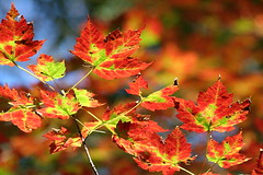 Fired Up about Foliage (CRimages) Tags: autumn color fall colors leaves digital canon wow lens bokeh connecticut sigma 100views 10favorites 250views