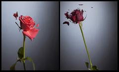liquid nitrogen roses (www.kasimetcalfe.com) Tags: flower rose flash highspeed liquidnitrogen kasi brokenflower sciencephoto shortduration studioexperiments