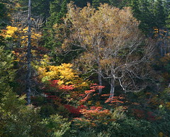 Fall in Hachimantai (jasohill) Tags: autumn 15fav fall nature colors leaves japan landscape eos 350d japanese landscapes deleteme10 2006 best iwate canon350d backgrounds 日本 自然 東北 tohoku touhoku hachimantai japantimes 岩手 canonef50mmf18ii 85points views700 八幡平市 cotcbestof2006