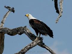 African Fish Eagle (Makgobokgobo) Tags: africa bird eagle raptor botswana chobe fisheagle haliaeetus africanfisheagle haliaeetusvocifer cnp ngoma chobenationalpark avianexcellence