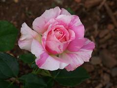 Rose, Artista, Johannesburg Botanical Garden