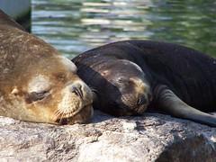 Moeder en kind (kattenspul) Tags: child mother napping sealions emmen noorderdierenpark animaladdiction specanimal animalkingdomelite