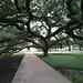 Century Tree at Texas A&M